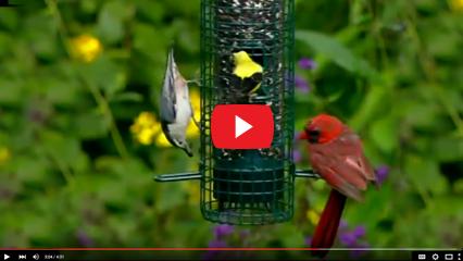 classicbirdsvideo