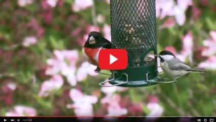 minibirdsvideo