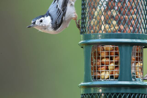 1052Peanut_Nuthatch_closeup-WEB