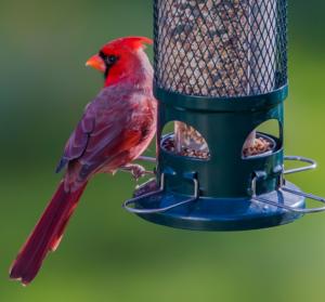 1057_Cardinal_closeup_TerryKrebsSTANDARD-WEB