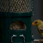 BBN 140 - Goldfinch Nesting Season