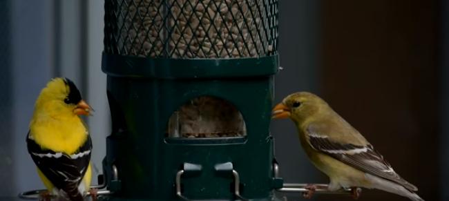 BBN 140 – Goldfinch Nesting Season