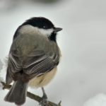BBN 2-43 - Chickadees' Brains Get Bigger in Winter, Red vs. White-Breasted Nuthatches, Ban on Plastic Bags, and Sad Changes to the MBTA