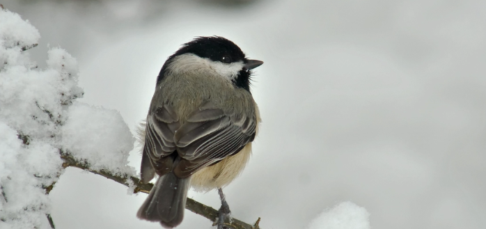 BBN 2-43 – Chickadees' Brains Get Bigger in Winter, Red vs. White-Breasted Nuthatches, Ban on Plastic Bags, and Sad Changes to the MBTA