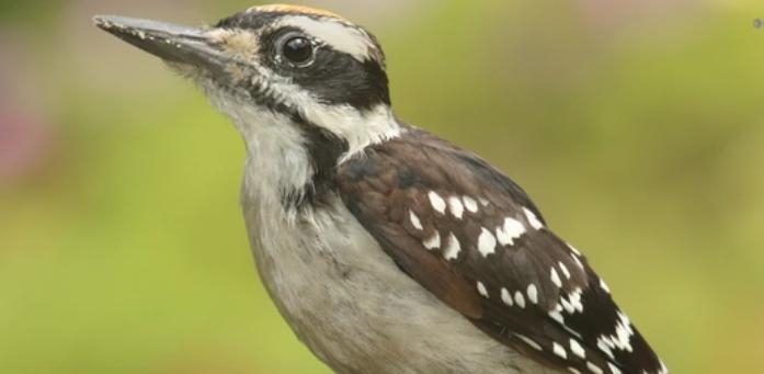 BBN 3-08 Bluebird Nestbox Project, Woodpeckers at Window Feeders, Bright vs Dull Colored Predation, California Condor in Redwood Park