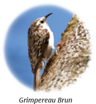 Brown creeper-french