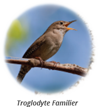 House Wren-french