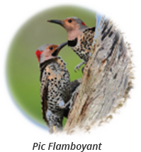 Northern Flicker-french