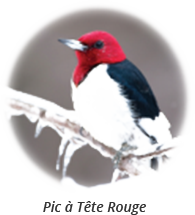 Red-Headed Woodpecker-french