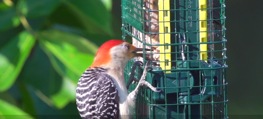 BBN 3-19 The Squirrel Buster Suet, Moulting Cardinals and Reduce Household Waste