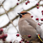 BBN 4-20 - Harvest Berries for Birds this Winter, Harvest Milkweed Seeds for Next Year, Do Wind Chimes Bother Birds?