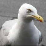 BBN 4-25 - Birds, Bacon and Suet, New Zealand BOTY, FLAP Petition Gains Traction