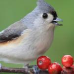 BBN 4-27 - Project FeederWatch, Christmas Bird Count, Peanut Butter for Birds, Birds Make You Happier