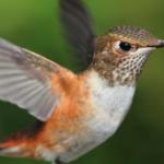 BBN 5-13 - Attract Hummingbirds, Raptor-Proof Your Backyard, Re-Grow Pineapples