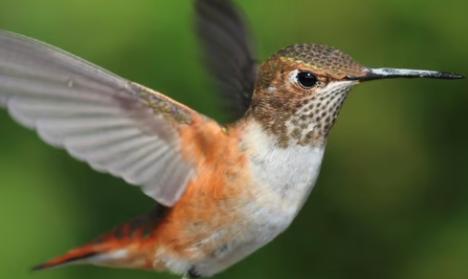 BBN 5-13 – Attract Hummingbirds, Raptor-Proof Your Backyard, Re-Grow Pineapples