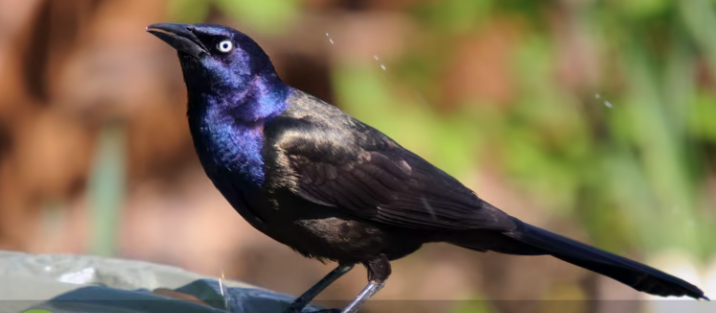 BBN 5-15 – Grackles, a Silver Anniversary for a Pair of Loons, Crows Attacking a Squirrel's Nest, Switch to Natural Skin Care Products